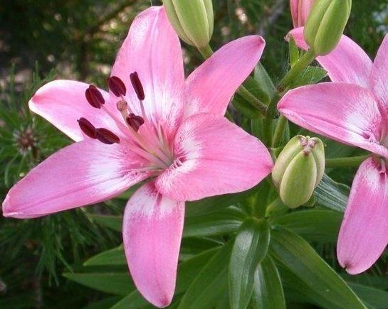 asiatische lilie rosa kaufen g nstig bestellen f r. Black Bedroom Furniture Sets. Home Design Ideas