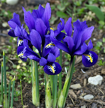 iris reticulata kaufen g nstig bestellen f r. Black Bedroom Furniture Sets. Home Design Ideas
