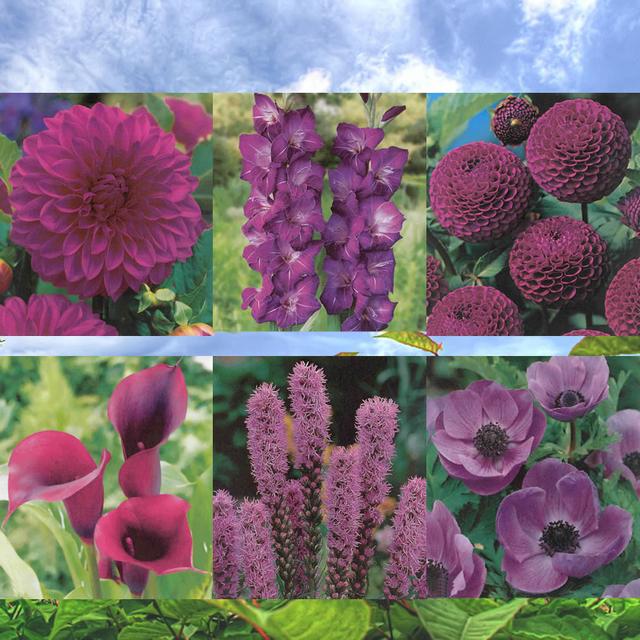 blumenzwiebeln quadratmeter violett lila kaufen g nstig. Black Bedroom Furniture Sets. Home Design Ideas