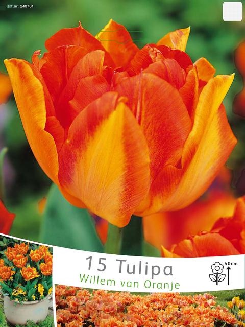 tulpen willem van oranje kaufen g nstig bestellen f r 2 99. Black Bedroom Furniture Sets. Home Design Ideas