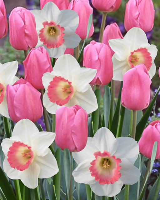 tulpe rosa narxis pink charm mischung kaufen g nstig bestellen f r. Black Bedroom Furniture Sets. Home Design Ideas