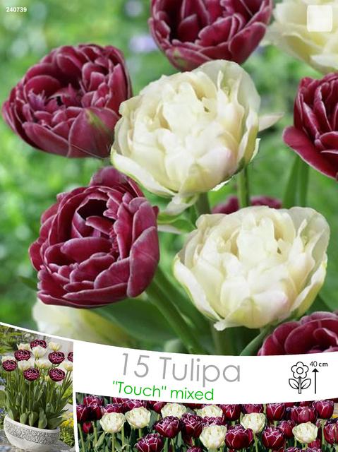 tulpen mischung dream touch global desire kaufen g nstig bestellen f r 2 99. Black Bedroom Furniture Sets. Home Design Ideas