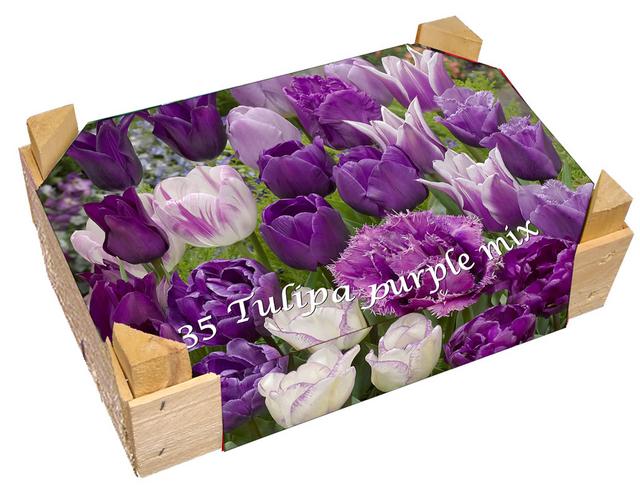kistchen tulpen lila gemischt kaufen g nstig bestellen f r 2 99. Black Bedroom Furniture Sets. Home Design Ideas