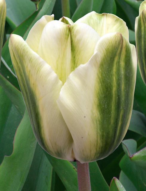 tulpe spirit green kaufen g nstig bestellen f r. Black Bedroom Furniture Sets. Home Design Ideas
