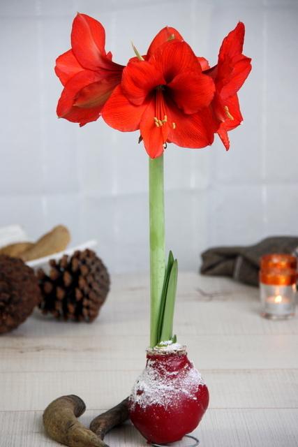 wachs amaryllis schnee hochrot zwiebeln kaufen jetzt. Black Bedroom Furniture Sets. Home Design Ideas