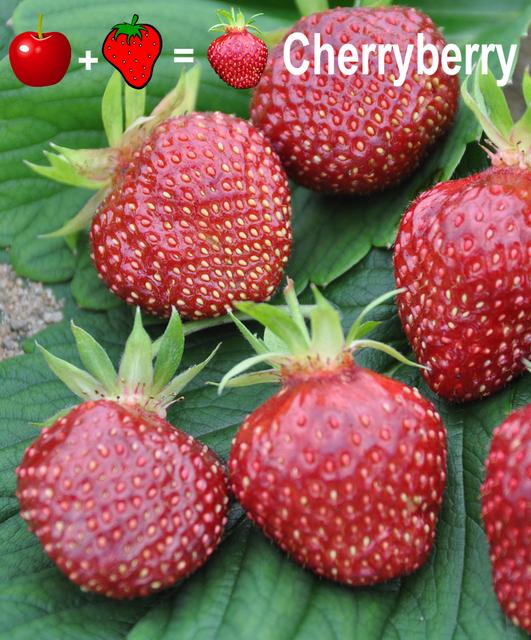erdbeere cherryberry kaufen g nstig bestellen f r. Black Bedroom Furniture Sets. Home Design Ideas