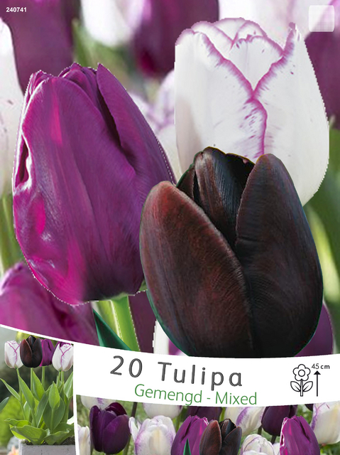 tulpen mix negrita queen of night shirley kaufen g nstig bestellen f r 2 99. Black Bedroom Furniture Sets. Home Design Ideas