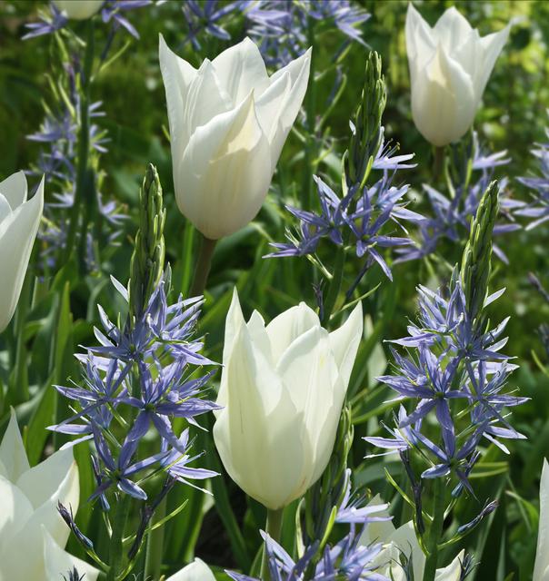 tulpe white triumphator camassia leichtlinii kaufen g nstig bestellen f r. Black Bedroom Furniture Sets. Home Design Ideas