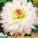 Dahlia Crazy Love - Dahlien