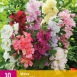 Alcea Rosea Mix - Stockrose