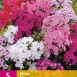 Phlox Mix - Flammenblumen