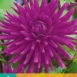 Dahlia Purple Gem - Dahlien