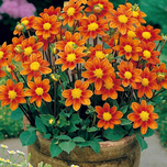 Dahlien Topmischung orange