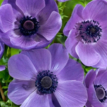 Anemone Mr. Fokker