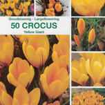 Krokus Yellow Giant (Gro�packung)