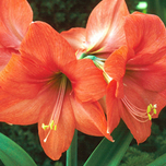 Amaryllis orange (Hippeastrum)