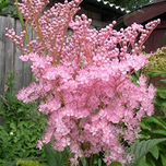Filipendula Rubra Magnifica - Queen of the Prairie