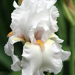 Deutsche Schwertlilie Iris germanica Immortality