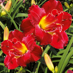 Taglilie Hemerocallis Highland Lord
