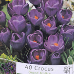 Krokus Flower Record (Gro�packung)