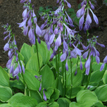Hosta Abique Blue