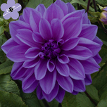 Dahlien Dinnerplate Lilac Time