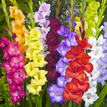 Gladiolenmischung (Gro�packung)