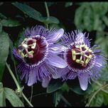 Passiflora Purple Haze (Passionsblume)