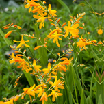 Montbretie (Crocosmia Yellow Sunshine)