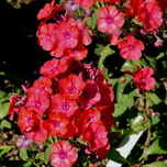 Phlox Paniculata Septemberglut