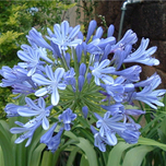 Schmucklilie Blue Umbrella (Agapanthus)