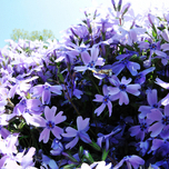 "Polster-Phlox (Phlox Subulata ""Emerald Cushion Blue"")"