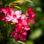 Oleander Rot (Topfpflanze)