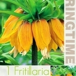 Fritillaria Imperialis Striped Beauty