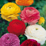 Ranunculus Asiaticus Mix