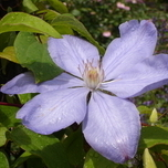 Clematis Mrs. Cholmondeley