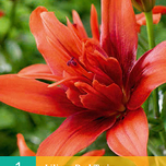 Lilien Doppeltblumig Red Twin