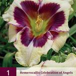 Taglilie Hemerocallis Celebration of Angels