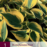 Hosta Autumn Frost
