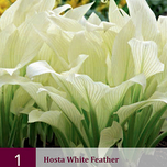 Hosta White Feather - Herzblattlilien