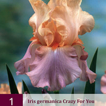 Deutsche Schwertlilie Iris germanica Crazy for You