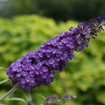 Schmetterlingsflieder Purple Emperor - Buddleja