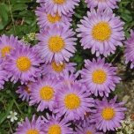 Aster Alpinus Happy End - Sternblume