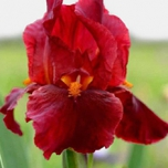 "Iris germanica "" Red Zinger "" - Schwertlilie"