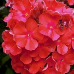 Phlox Paniculata Orange Perfection - Flammenblumen (Dreierpack)
