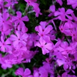 Polster-Phlox Purple Beauty - Phlox subulata (Dreierpack)