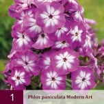 Phlox Junior Bouquet