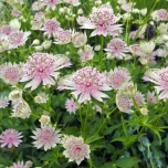 Sterndolde (Astrantia Major) Topfpflanze