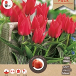 Tulpe Red Riding Hood