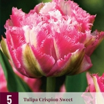 Tulpe Crispion Sweet